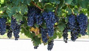 cabernet-sauvignon-670x390